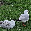 紐西蘭-皇家信天翁