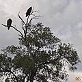 東非大自然--「肯亞馬賽馬拉(一)」