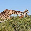 東非大自然---「肯亞馬賽馬拉四)」