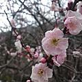 20110128-0130落櫻繽紛在武陵