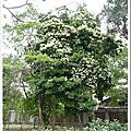 植物-梧桐科