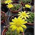 植物-菊科