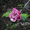 植物-錦葵科