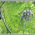 植物-紫葳科