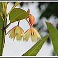 植物-杜英科