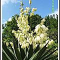植物-龍舌蘭科