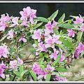植物-杜鵑花科