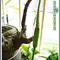 植物-瓶爾小草科