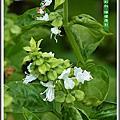 植物-唇形科