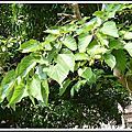 植物-桑科