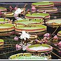 植物-睡蓮科