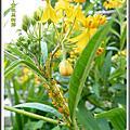 植物-蘿藦科