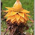 植物-芭蕉科