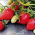 【苗栗】奇奇草莓園