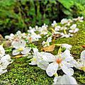 【新埔】鴛鴦池農場油桐花