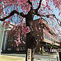 風情萬種的八重紅枝垂櫻