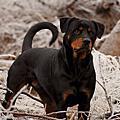 羅威那犬(Rottweiler)