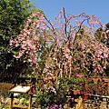 阿里山的枝垂櫻