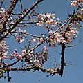 嘉義縣阿里山的櫻花