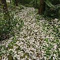 獅潭鄉 神棹仙境的油桐花