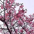 虎尾農博公園花季到了