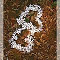 三義油桐花、螢火蟲