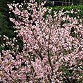 2007/04/01 三芝天元宮賞櫻
