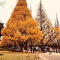 明治神宮外苑黃金銀杏