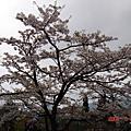 阿里山櫻花季