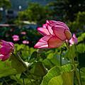荷塘居~蓮花