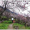 【春天裡的嬌客】楓樹湖辛夷花