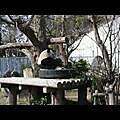 吃相超豪邁的熊貓...卡ㄘ卡ㄘ