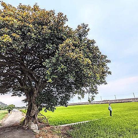 【台中   外埔】 田中央的大樹,外埔金城武樹~
